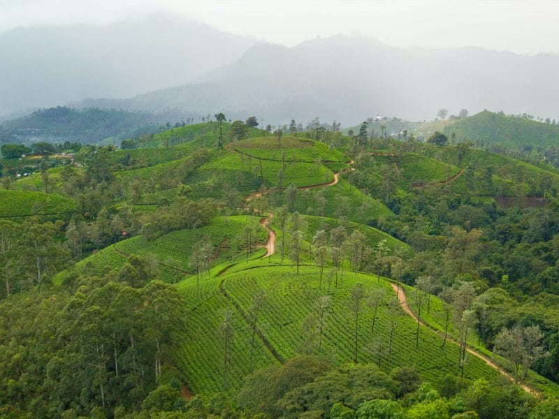 tea farm landscape